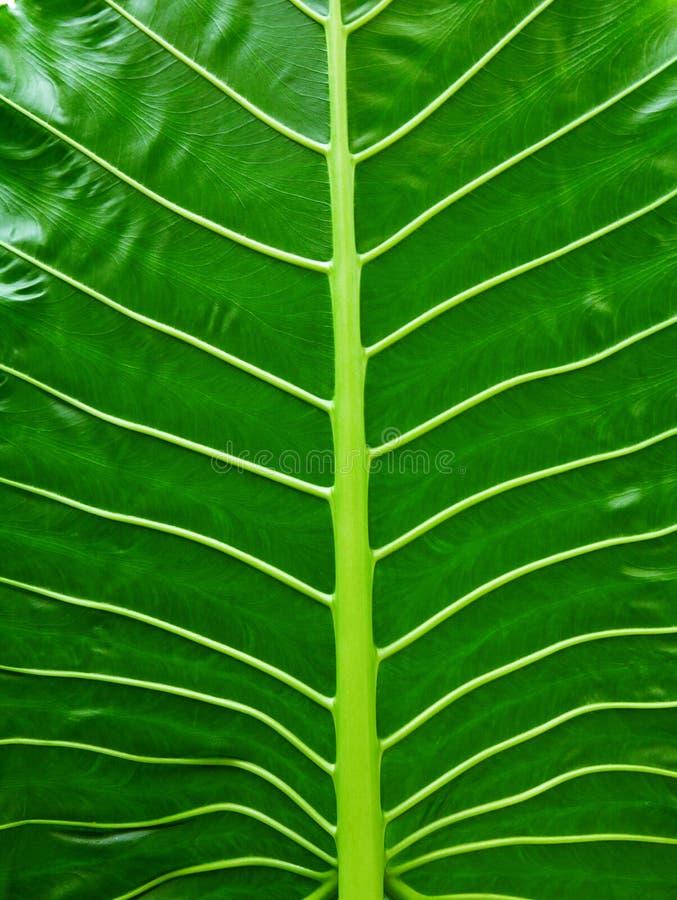 Texture tropicale de feuille, grand fond de vert de nature de feuillage de paume images libres de droits