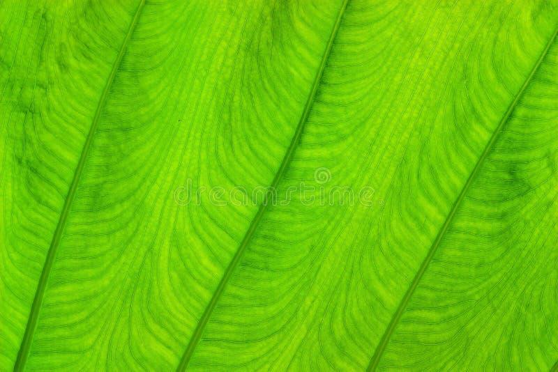 Texture verte de feuille avec la lumi?re du soleil images stock