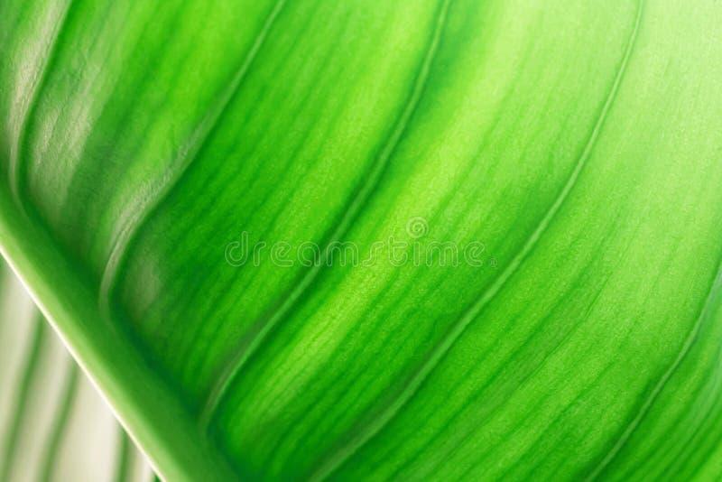 Texture verte de feuille avec le fond de nature Le résumé part de la surface du concept naturel photographie stock