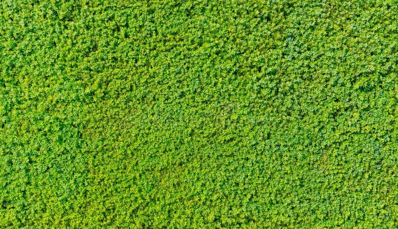 Texture verte sans couture de haie photo libre de droits