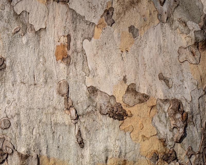 Texture of Very Old and Very Big London Plane Tree. Closeup texture of very old and very big living london plane tree. Use as a background image or place above royalty free stock photography