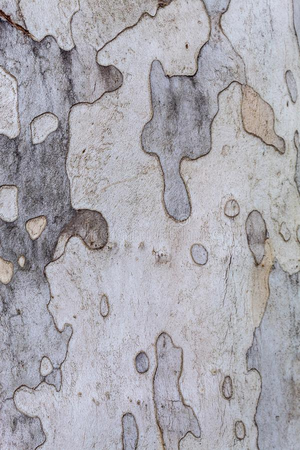 Texture of Very Old and Very Big London Plane Tree. Closeup texture of very old and very big living london plane tree. Use as a background image or place above stock photo