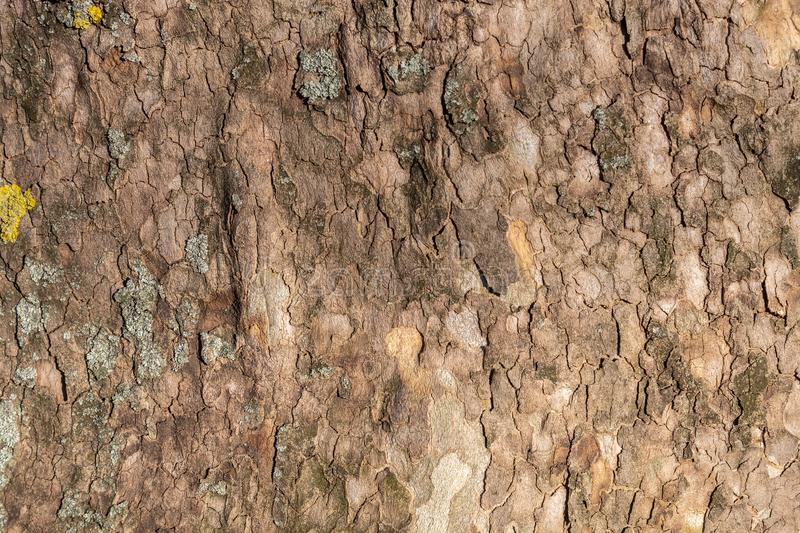 Texture of Very Old and Very Big London Plane Tree. Closeup texture of very old and very big living london plane tree. Use as a background image or place above stock images