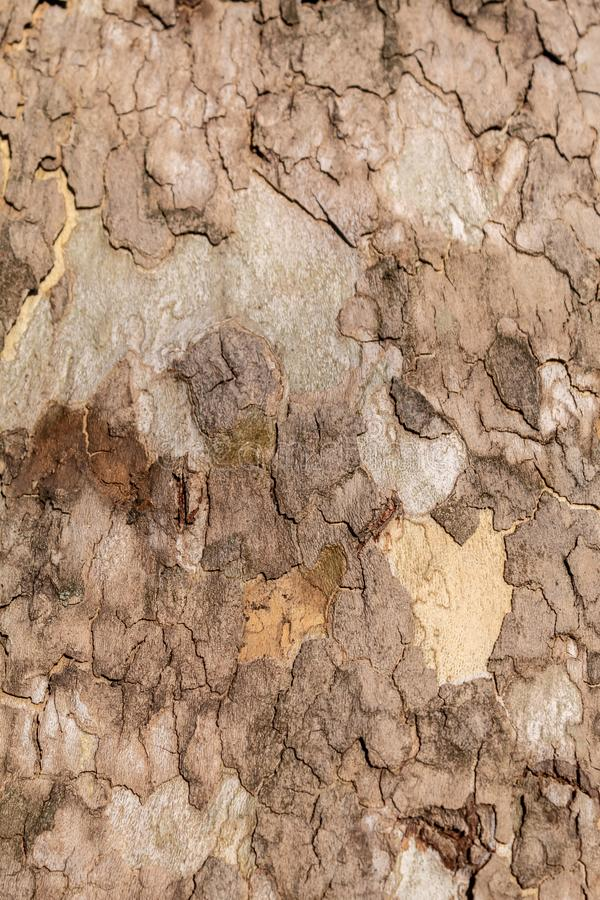 Texture of Very Old and Very Big London Plane Tree. Closeup texture of very old and very big living london plane tree. Use as a background image or place above stock photos