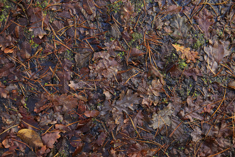 Texture of weeping fallen leaves. Autumn oak leaves and moss in the water stock photos
