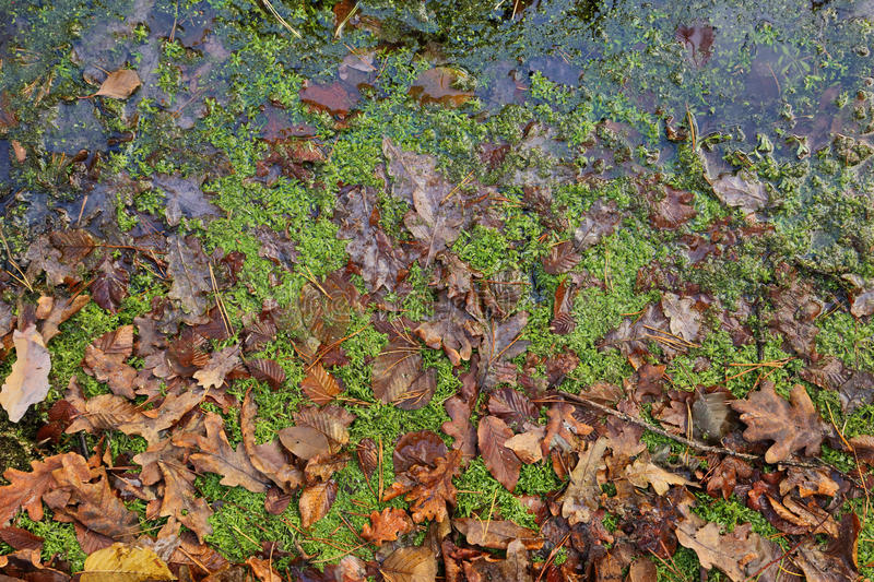 Texture of weeping fallen leaves. Autumn oak leaves and moss in the water stock photo