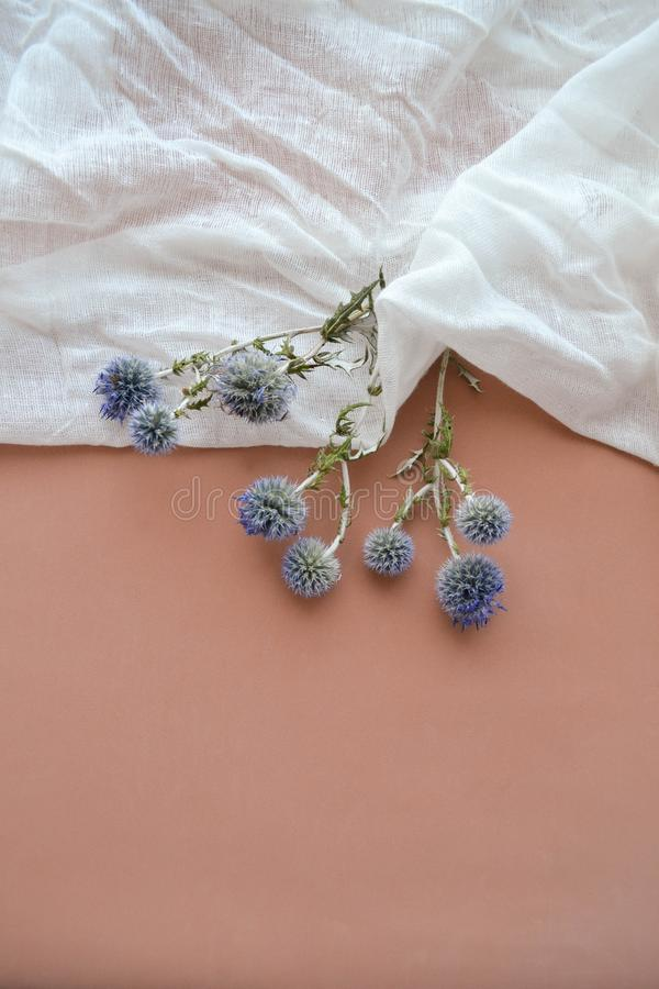 Texture of white gauze fabric and dry blue eryngium planum royalty free stock image