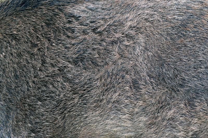 Texture of wild boar fur royalty free stock images