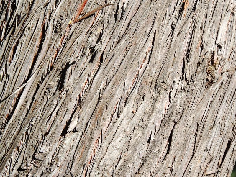 Texture of wooden bark of cypress tree stock image