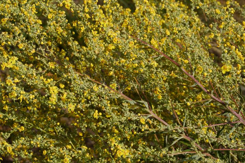 Texture of yellow flowers of hypericum on a green bush. In the forest royalty free stock images