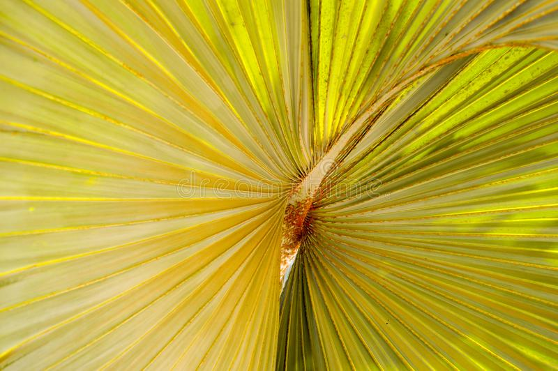 Texture yellow, green plant, with corrugated volume sheets, with a three-dimensional core inside, an exotic flower that loves heat royalty free stock photo