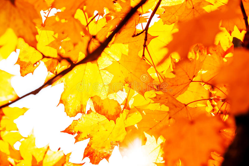 Texture Of Yellow Leaves Autumn Leaf Background. Background Texture Of Yellow Leaves Autumn Leaf Background royalty free stock image