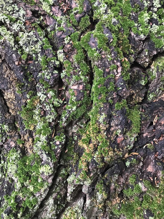 Moss on a tree. The bark of the tree natural background stock images