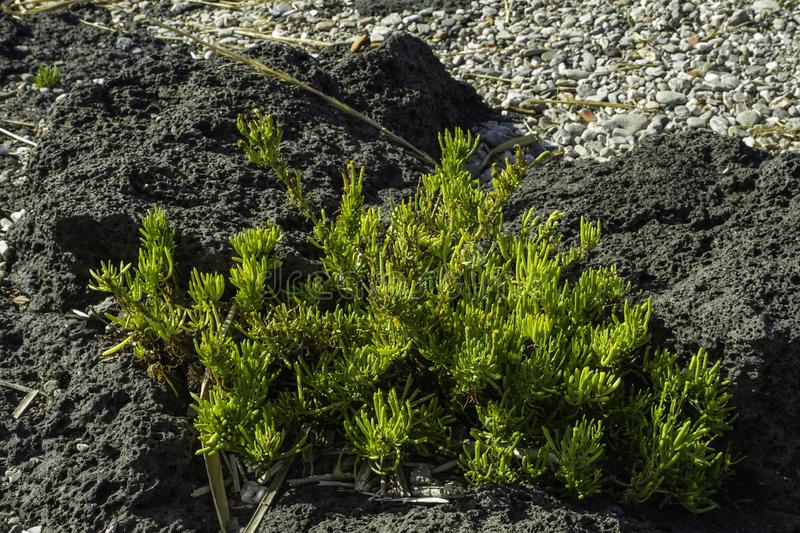 Textured colorful green cactus plant on a black lava rock in Sicily close up stock images