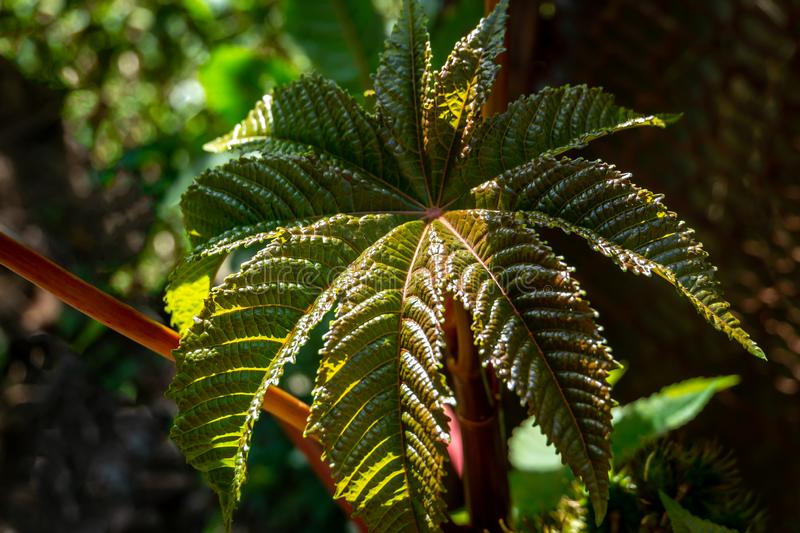 Textured dark green with red, very beautiful Castor oil plant, Ricinus communis leaf. royalty free stock photography