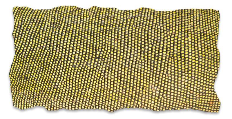 Textured of iguana skin stock photo