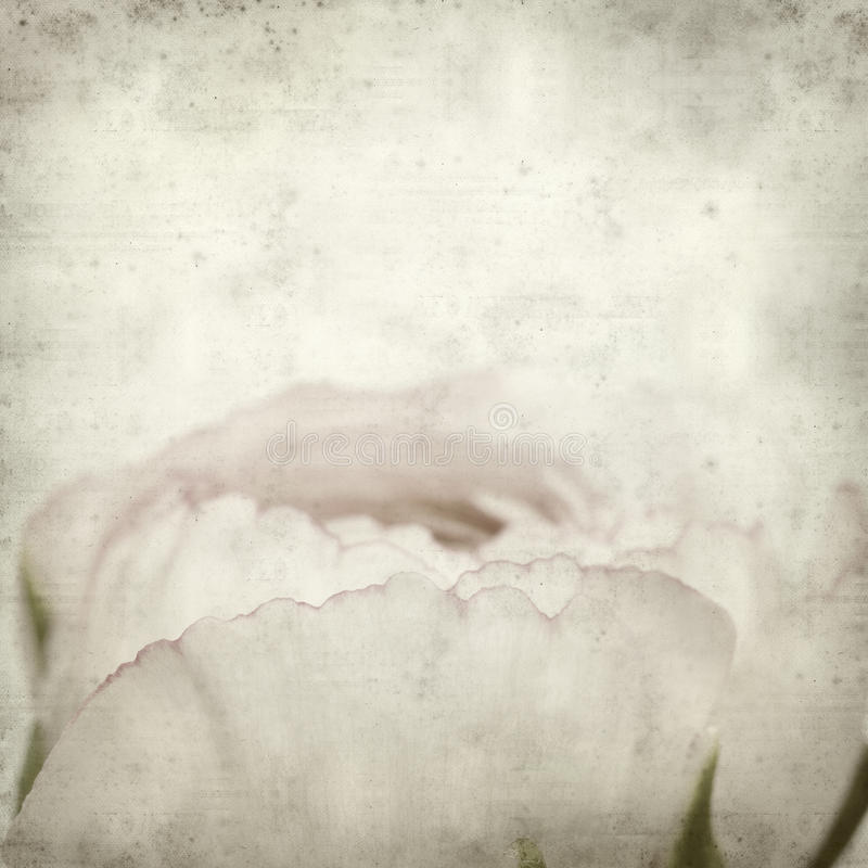 Textured old paper background. With pale pink ranunculus, persian buttercup stock images
