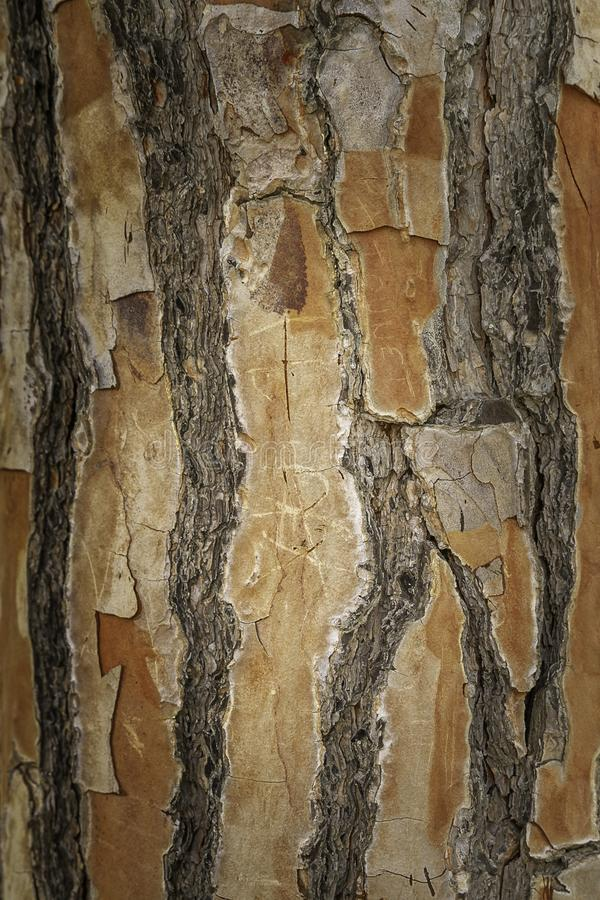 Textured old pine tree bark close up of native plants in Sicily royalty free stock image