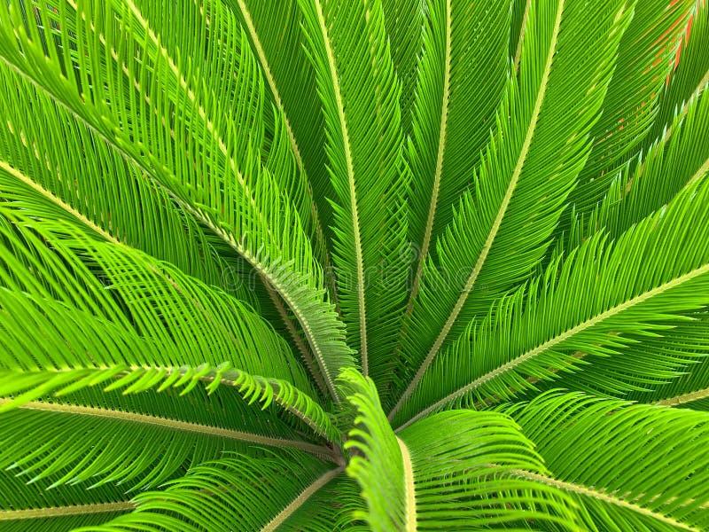 Textured, rzeźbiący liście piękny drzewko palmowe, zdjęcie stock