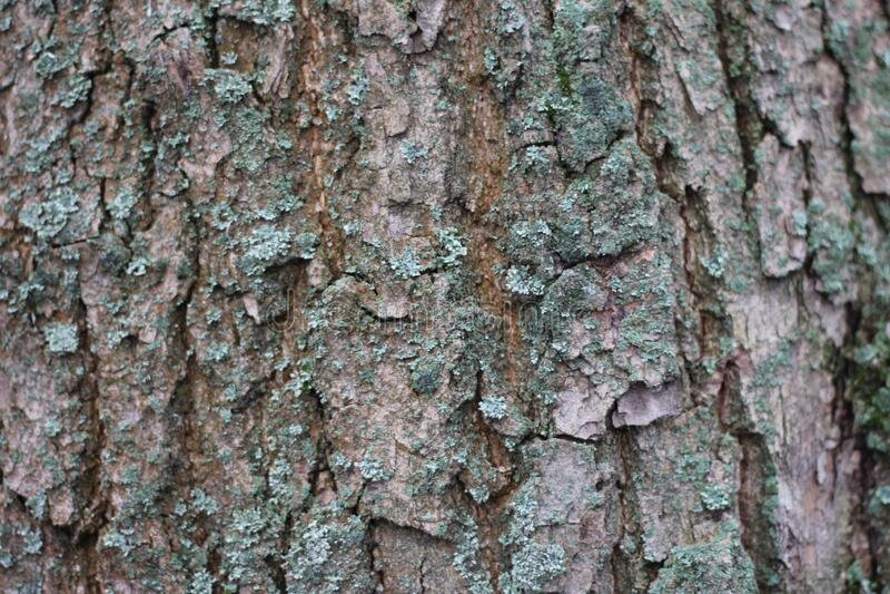 Textured tree bark with deep cracks.  royalty free stock photo