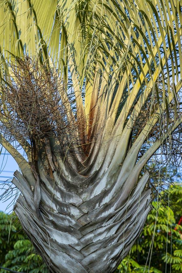 Texturen av den gr?na palmbladet Former i natur V?xten g?mma i handflatan triangeln eller Dypsis Decaryi royaltyfri bild