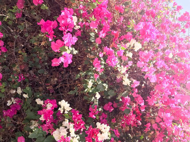 Texturen av en stor härlig frodig buske, en exotisk tropisk växt med vit och lilor, rosa färger blommar med delikata kronblad och royaltyfri bild
