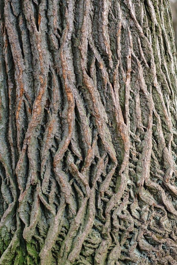 Texturen av skället av ett gammalt träd som litet är bevuxet med mossa royaltyfria bilder