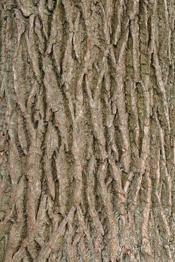 Texturen av sk?llet av ett gammalt tr?d som litet ?r bevuxet med mossa arkivbilder