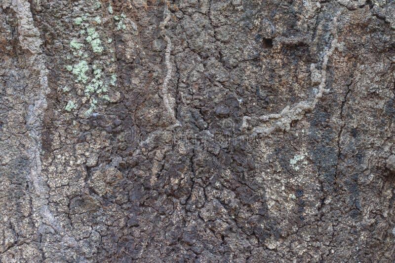Texturen van oude mangoboom op aard stock afbeelding