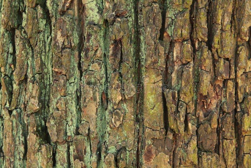 Texturera av sk?llet stor gammal tree fotografering för bildbyråer