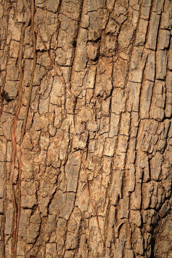 Texturera av treeskäll royaltyfri fotografi