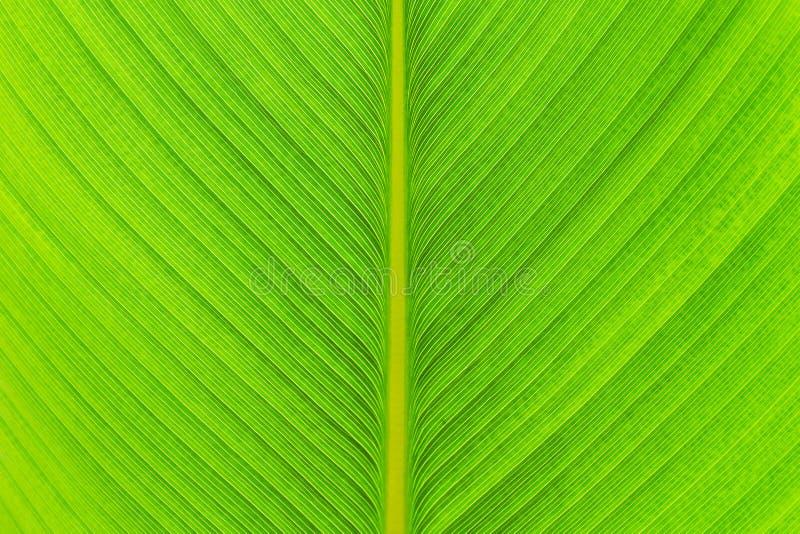 Texturera det gröna bananbladet av den Calathea luteaen (Aubl ) Mey träd arkivfoto