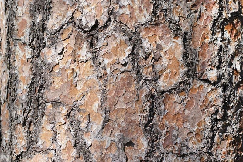 Texturera naturligt sörjer skället Granträd av det bruna färgslutet upp Bakgrundsträdskäll i royaltyfri bild