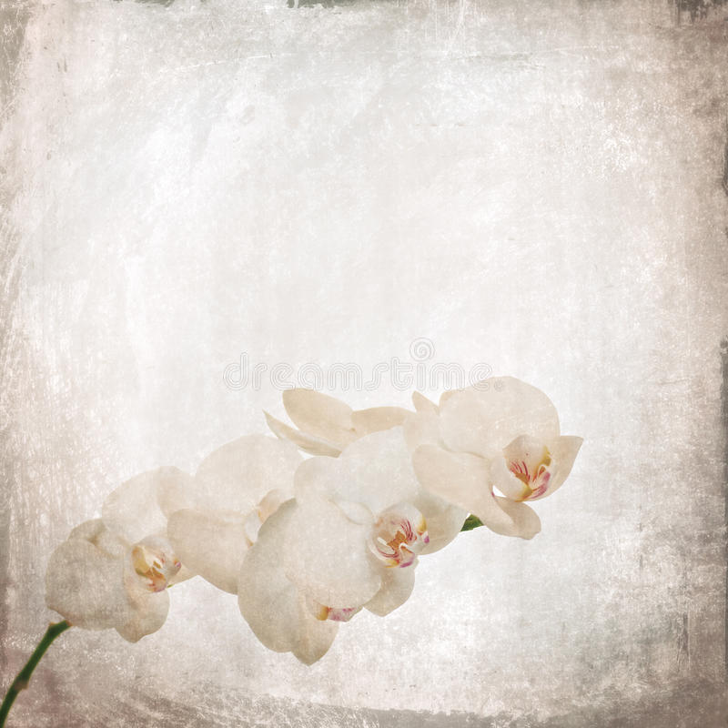 Texturerad gammal pappers- bakgrund med vit och magentafärgad phalaenopsis arkivbilder