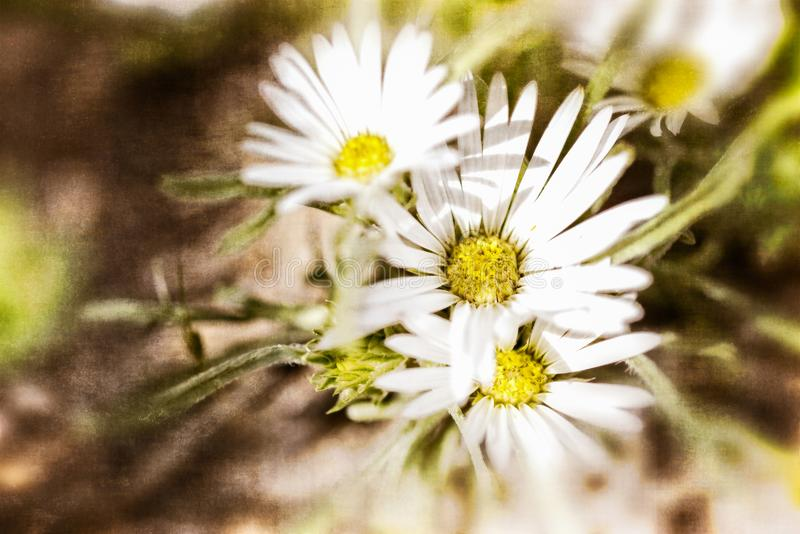 Texturerade vita Daisy Background royaltyfri fotografi