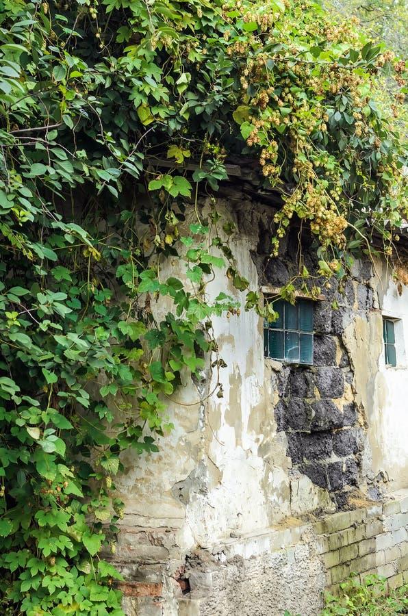 Texturerat bevuxet hus för tegelstenvägg med gröna flygturer royaltyfri fotografi