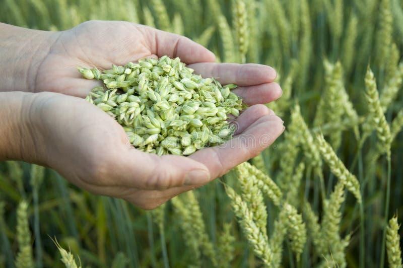 Textures de blé   images stock