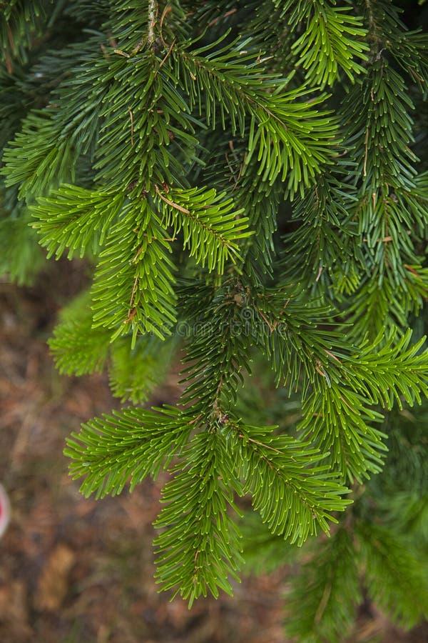 Textures et milieux d'usine Les branches ont mangé en gros plan No?l Texture verte images libres de droits