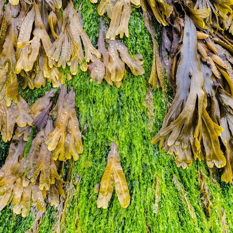 Green algae on the beach. Textures of green and brown algae on the beach royalty free stock photos