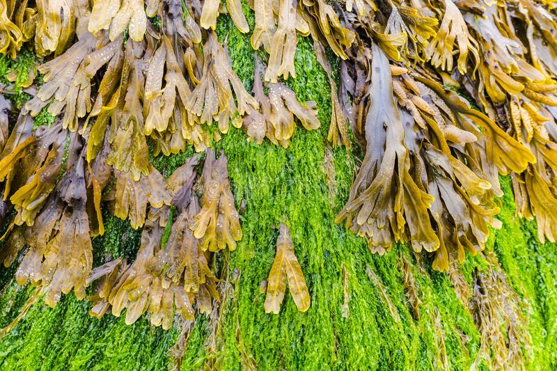 Green algae on the beach. Textures of green and brown algae on the beach stock photography