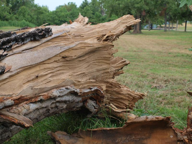 Textures of An Old Growth Tree Destroyed. This mighty old growth tree was one of 700 trees lost in city parks from the June 9th storm, some  six weeks ago. In royalty free stock photos