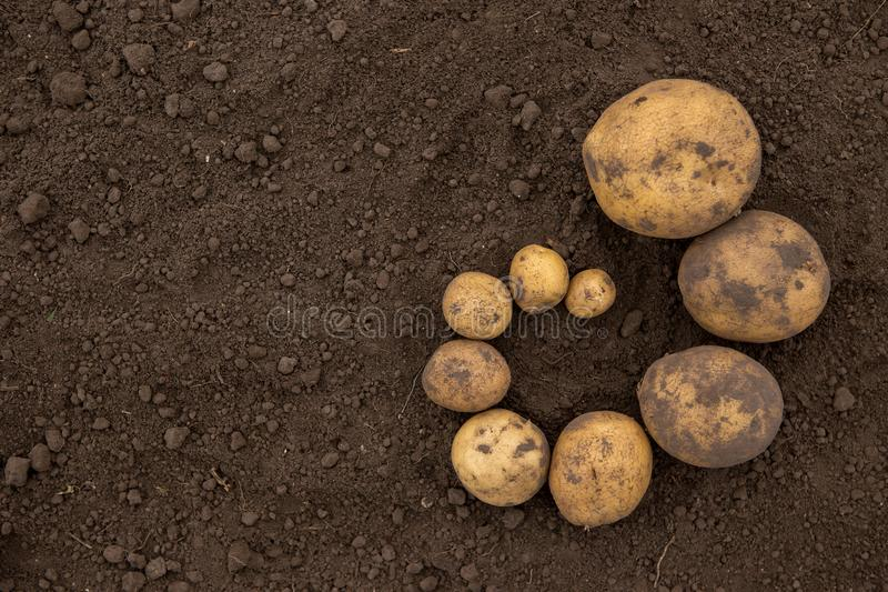 Textures plenty of fresh unpeeled potatoes harvested from the field. Gradient on soil. From big to small. stock image