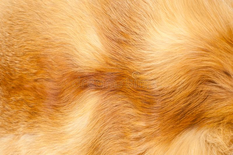 Textures red fox fur. Red fox shaggy fur texture cloth abstract, furry rusty texture plain surface, rough pelt background in horizontal orientation, nobody royalty free stock image