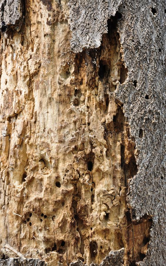 Withered Tree bark. The Textures of Withered Tree bark royalty free stock photos
