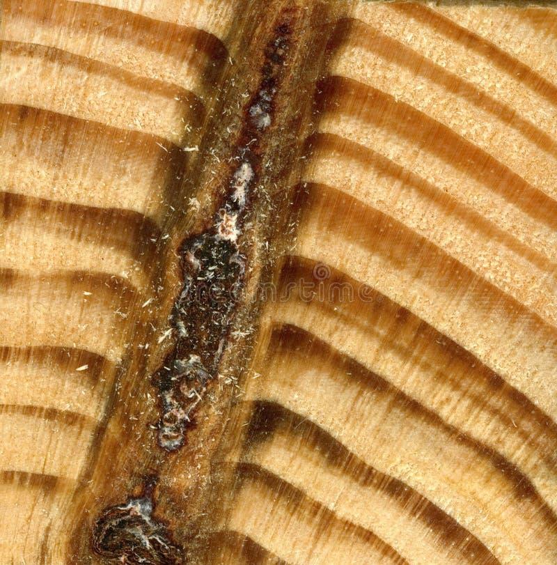 Texturice la madera amarilla de la especie conífera spruce, pino El corte transversal de una sierra fotografía de archivo libre de regalías