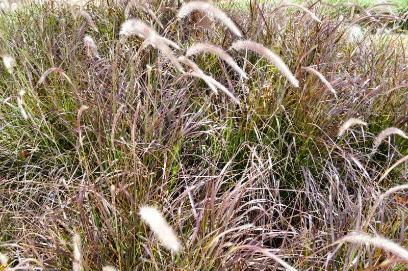 Texturice las altas malas hierbas grises secas demasiado grandes para su edad con el césped no tratado de la hierba chamuscado en fotos de archivo libres de regalías