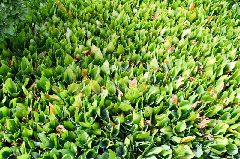Texturice los brotes frescos verdes de la plántula de los lirios no florecidos del valle con las hojas verdes de la hierba sin la fotos de archivo