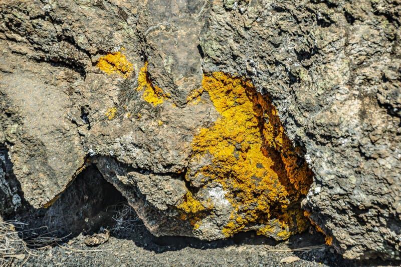 Textursprickan i vaggar som växer på mossa och laven Typisk lavamaterial runt om vulkan Teide Slut upp selektiv fokus royaltyfri fotografi