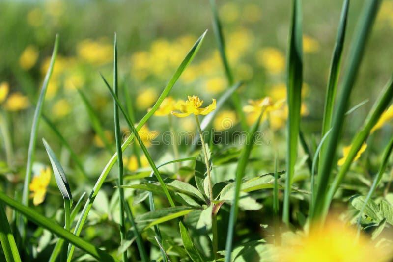 Textuur groen sappig lang gras met gele bloemen op een dag van de de zomerzomer royalty-vrije stock fotografie