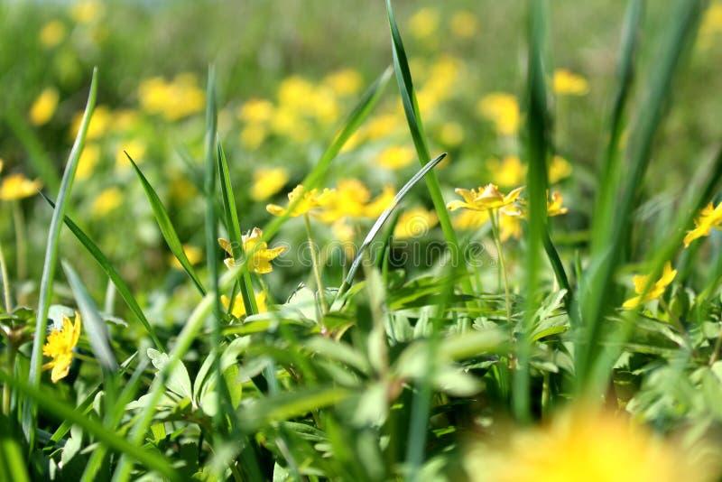 Textuur groen sappig lang gras met gele bloemen op een dag van de de zomerzomer stock foto